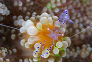 Commensal Shrimp Posters - Sarasvati Anemone Shrimp On Orange Poster by Steve Jones