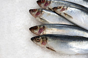 Restaurant Prints - Sardines on ice Print by Jane Rix