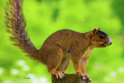 Fox Squirrel Art - Sass by Betsy A Cutler East Coast Barrier Islands