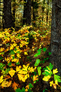 Fall Cards Prints - Sassafras Forest II Print by Dan Carmichael