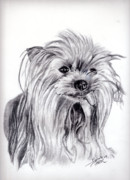 Yorkie Drawings - Sassi by Beverly Johnson
