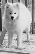 Dog Photos Posters - Sassy Samoyed Poster by Lisa  DiFruscio