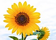 Texas.photo Prints - Sassy Sunflower Print by Elizabeth Budd