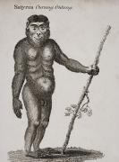 Anthropomorphism Framed Prints - Satyrus, Ourang Outang. Engraved By Framed Print by Ken Welsh