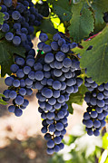 Harvest Photo Metal Prints - Sauvignon grapes Metal Print by Garry Gay