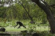Senegal Prints - Savanna-woodland Chimps Searching Print by Frans Lanting