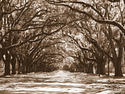 Live Oak Trees Posters - Savannah Sepia - Glorious Oaks Poster by Carol Groenen
