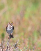 Sparrow Photo Prints - Savannah Sparrow . 40D5883 Print by Wingsdomain Art and Photography