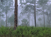 Pinaceae Prints - Saw Palmetto And Pine In Fog Print by Tim Fitzharris