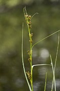 Saw Framed Prints - Saw Sedge (cladium Mariscus) Framed Print by Bob Gibbons