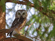 Owl Photo Metal Prints - Saw-whet Owl Metal Print by Bruce J Robinson