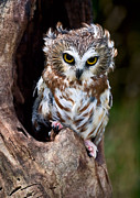Saw Framed Prints - Saw-whet Owl Framed Print by Wade Aiken
