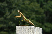 Prayingmantis Framed Prints - Say Cheese Framed Print by Gladys Steele