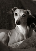 Head On Pillow Prints - Say What Italian Greyhound Print by Angela Rath