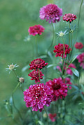 Pincushion Flower Prints - Scabiosa Atropurpurea chile Pepper Print by Maxine Adcock