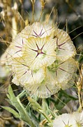 Seedhead Framed Prints - Scabiosa Seedhead Framed Print by Bob Gibbons