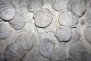Zoological Prints - Scallop Fossils Print by Dirk Wiersma
