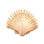 Scallop Metal Prints - Scallop I Metal Print by Amanda Makepeace