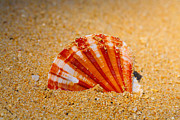 Colored Shell Framed Prints - Scallop Shell Framed Print by Cheryl Young