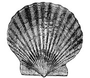 Aquatic Posters - Scallop Shell Poster by Granger