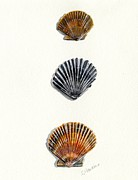 Sea Shell Art Posters - Scallop Shell Trio Poster by Sheryl Heatherly Hawkins