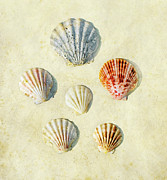 Colored Shell Framed Prints - Scallop Shells Framed Print by Paul Grand Image