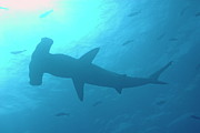 Scalloped Hammerhead Shark Print by Sami Sarkis