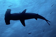 Galapagos Islands Posters - Scalloped Hammerhead shark underwater view Poster by Sami Sarkis