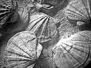 Chalky Prints - Scallops ... Print by Juergen Weiss