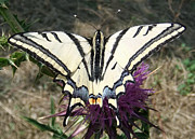 Grassland Pyrography Prints - Scarce Swallowtail Print by Eric Kempson