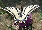 Eric Kempson - Scarce Swallowtail