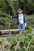 Allotment Posters - Scarecrow In A Garden Poster by Tony Craddock