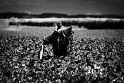Scarecrow Posters - Scarecrow In Rows Of Vegetable Crops On Farmland  Poster by Joe Fox