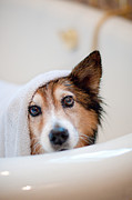Domestic Bathroom Posters - Scared Dog Getting Bath Poster by Hillary Kladke
