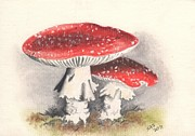 Botanic Drawings - Scarlet Fly Cap by Sherri Strikwerda