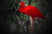 Scarlet Ibis Print by Cheryl Cencich