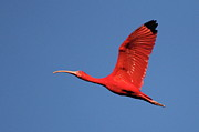 Wings Photos - Scarlet Ibis by Copyright Faraaz Abdool/Hector de Corazón