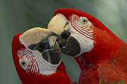 Animals Love Framed Prints - Scarlet Macaw Ara Macao Pair Kissing Framed Print by Zssd