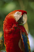 Scarlet Macaw Prints - Scarlet Macaw Native To Central Print by Tim Fitzharris