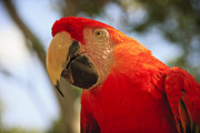 Tropical Posters - Scarlet Macaw Parrot Poster by Adam Romanowicz