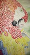 Parrot Print Paintings - Scarlet Macaw by Tim Forrester