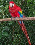 Tropical Photographs Originals - Scarlet Macaw by William Patterson