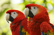 Rain Forest Macaws Prints - Scarlet Macaws Couple Print by Juan Carlos Vindas