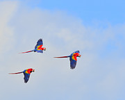 Trio Prints - Scarlet Macaws Print by Tony Beck