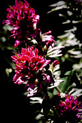 Spirea Posters - Scarlet Paintbrush Poster by David Patterson