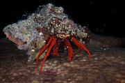 Crustacean Art - Scarlet Reef Hermit Crab Peeks by Terry Moore