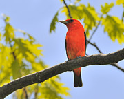 Bird Song Prints - Scarlet Tanager Print by Tony Beck