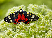 Colour-image Prints - Scarlet Tiger moth Print by Gabriela Insuratelu