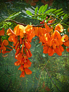 Rattlebox Photos - Scarlet wisteria tree - Sesbania punicea by Mother Nature