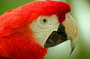 Parrot Metal Prints - Scarlett Macaw South America Metal Print by ArtPhoto-Ralph A  Ledergerber-Photography